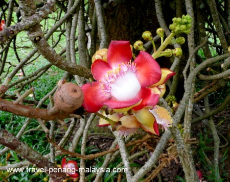 Photo of a Cannon Ball tree flower