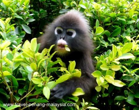 photo of a Dusky Leaf Monkey at the Botanic Gardens