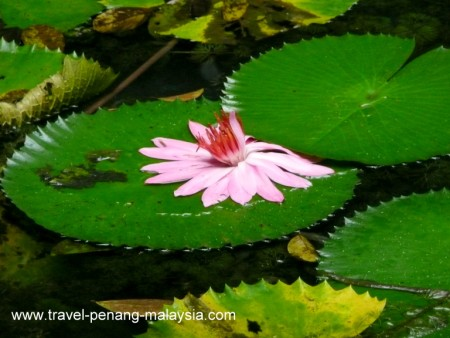 Photo of a Lily Pad Flower