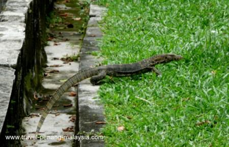 A Monitor Lizard