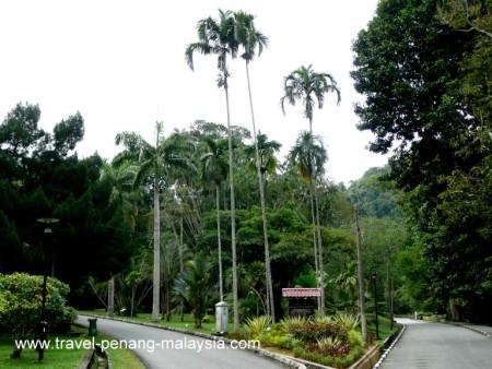 Photo of a Pinang Palm Tree