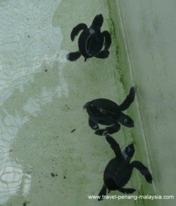 Baby Green Turtles in their pond